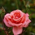 雨上がりの秋薔薇 -a