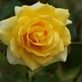 雨上がりの秋薔薇 -c