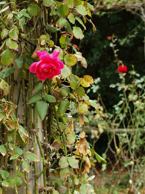 朽ちてもなお咲く秋薔薇