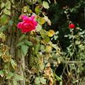 Photos: 朽ちてもなお咲く秋薔薇