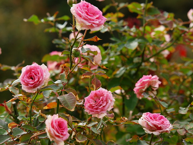 塩害にも負けず健気に咲く秋薔薇