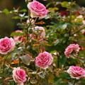 Photos: 塩害にも負けず健気に咲く秋薔薇