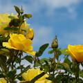 秋の青空と黄色い秋薔薇と