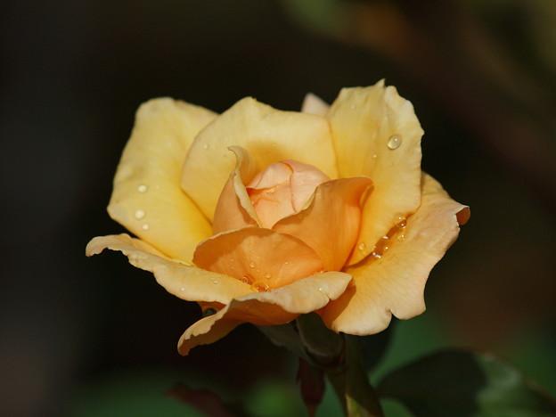 Photos: 雨滴を纏った秋薔薇
