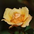 雨滴を纏った秋薔薇