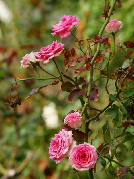 ガーデンを彩る秋薔薇
