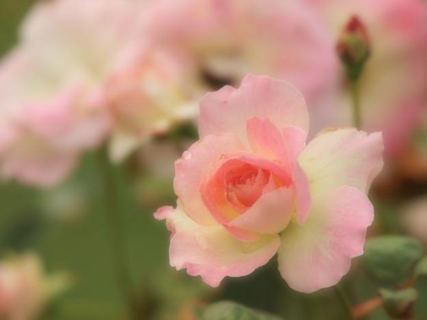 ふんわり秋薔薇
