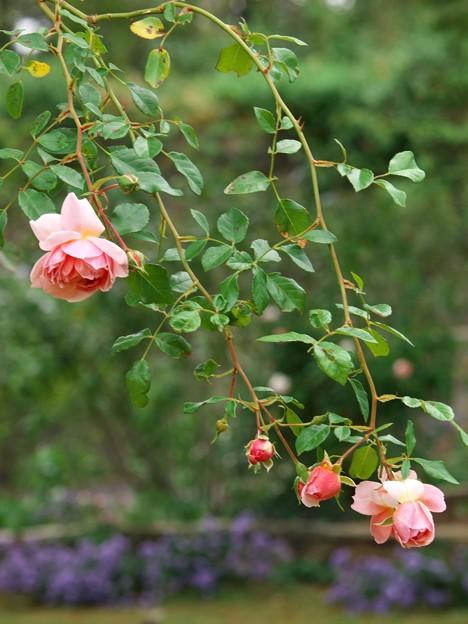 秋薔薇の囁き