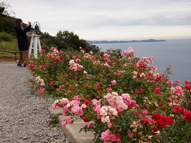 海を望む丘・秋薔薇の香り