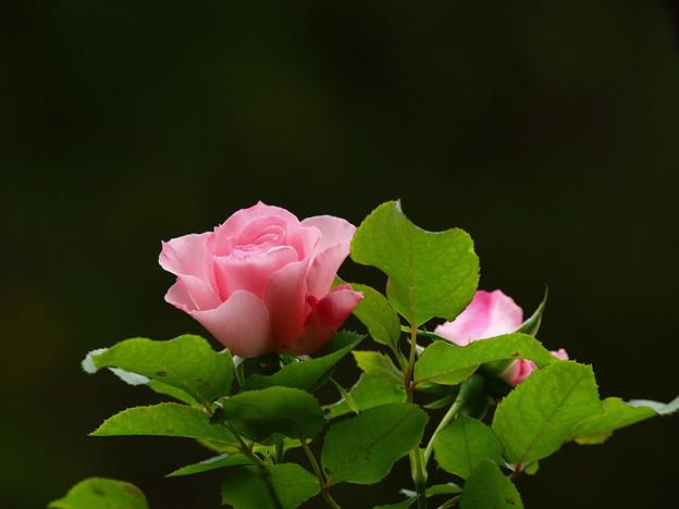 香り放つ秋の薔薇