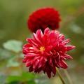 ダリアの咲く季節