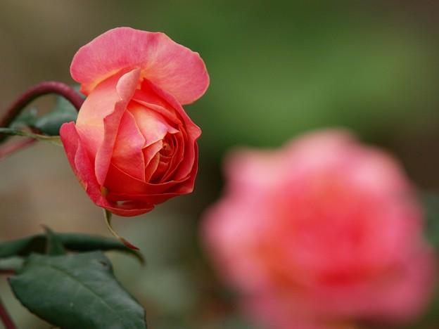 秋薔薇の香り漂うガーデン