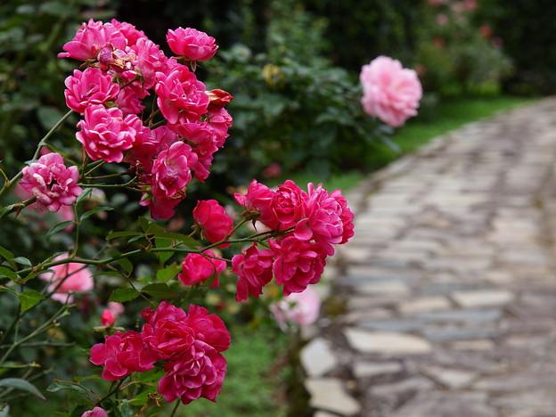 秋薔薇咲く石畳