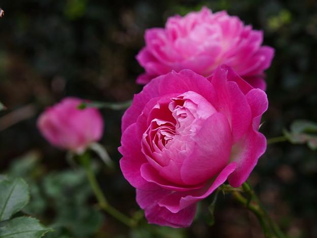 秋の日の薔薇