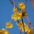 写真: 早春を告げる蝋梅の香り