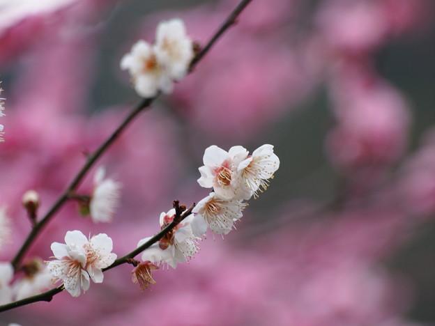 早春を告げる白梅