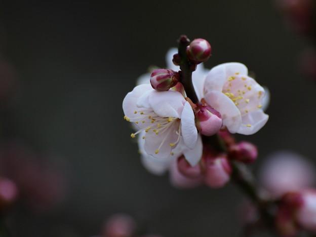 梅園は春の香りに包まれて