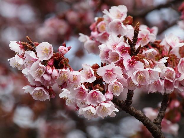熱海桜は花盛り♪