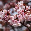 Photos: 熱海桜は花盛り♪