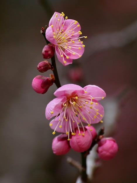 春の紅い香り