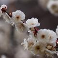 春の白き香り