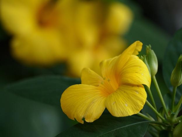 Photos: キバナアマ咲く庭園