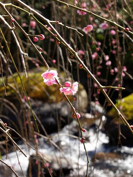 水辺に咲く梅花
