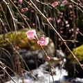 写真: 水辺に咲く梅花