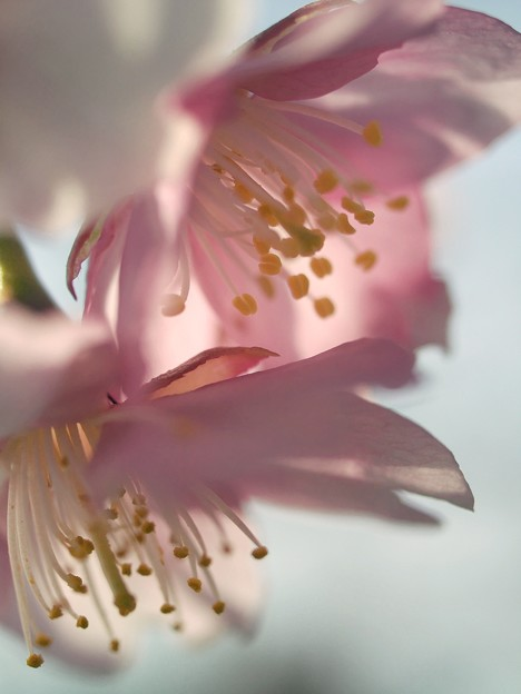 写真: 春を伝えるサクラ