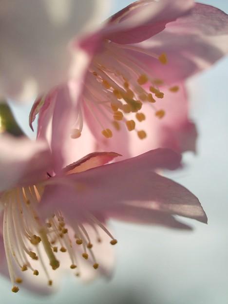 春を伝えるサクラ