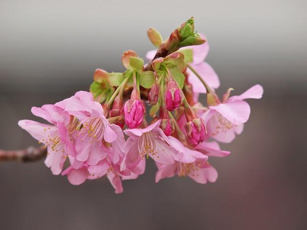 河津桜は今が旬 -b