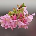 写真: 河津桜は今が旬 -b