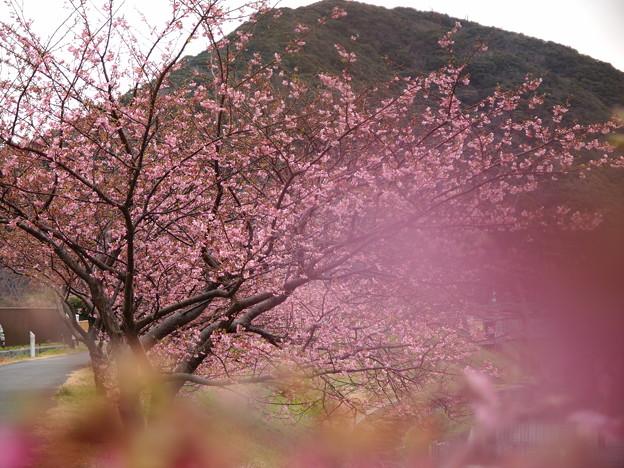 Photos: みなみの桜も今が旬♪
