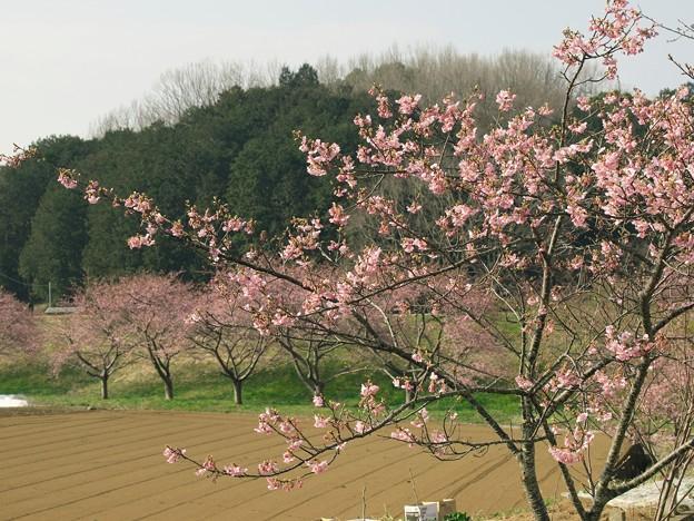 函南桜まつり