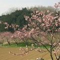 Photos: 函南桜まつり