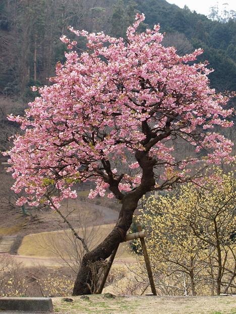 河津桜 vs 蝋梅