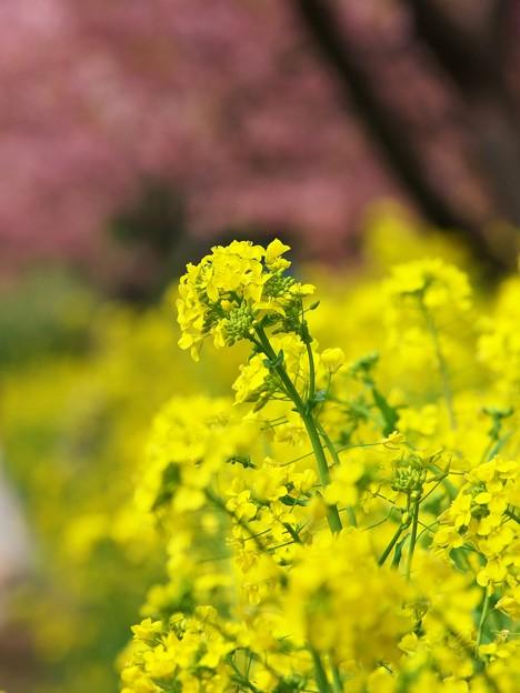 写真: 輝く菜の花そよ風に揺れ