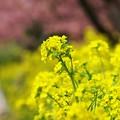 輝く菜の花そよ風に揺れ