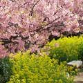 写真: みなみの桜と菜の花と
