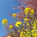 菜の花と桜と青空と…試し撮り -b