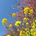 Photos: 菜の花と桜と青空と…試し撮り -b