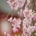 Photos: 三島大社も開花宣言?
