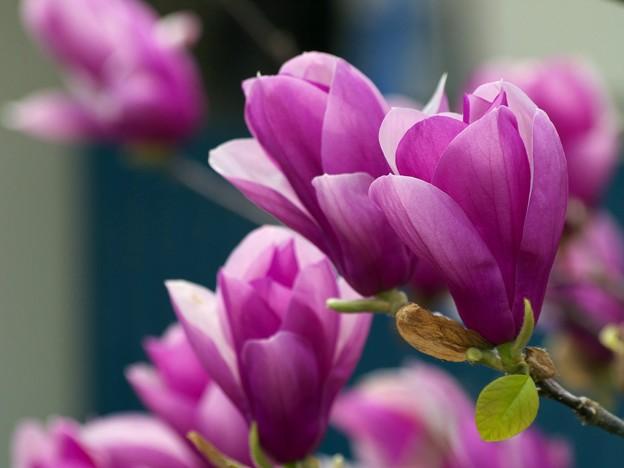 Photos: 紫木蓮の咲く頃