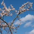 春の青空とサクラと