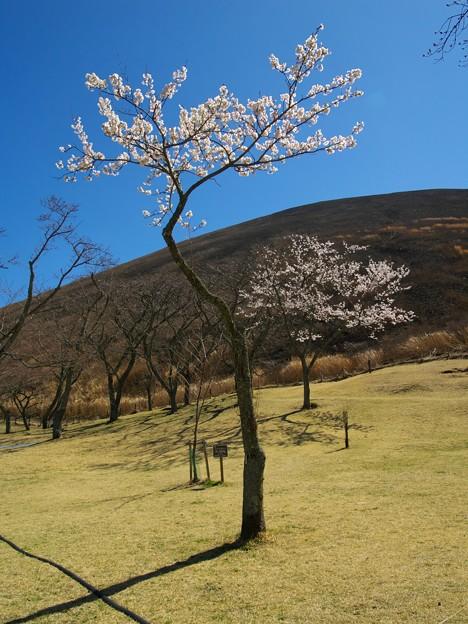 大室山の麓に咲く