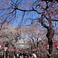Photos: 三嶋大社は春爛漫