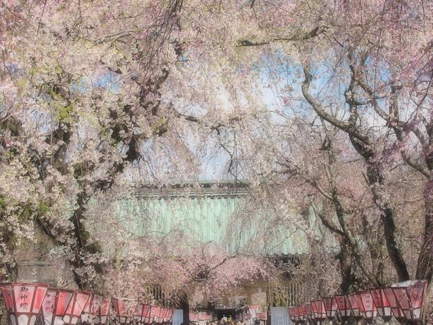 参道は春爛漫