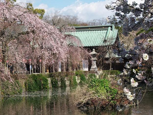 春の日の三嶋大社
