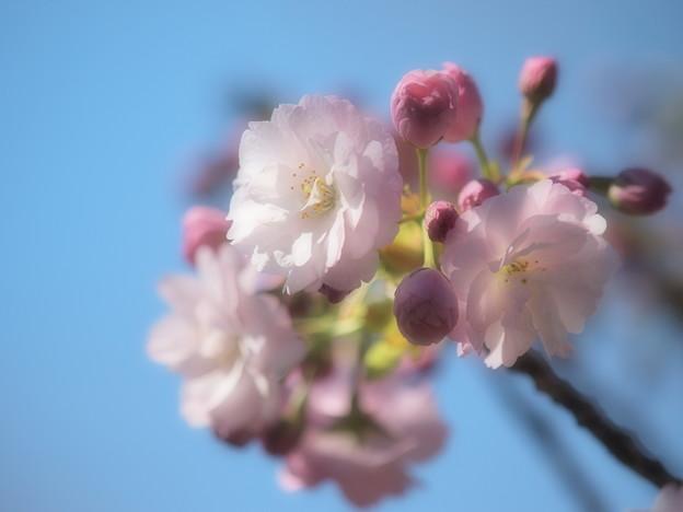 ふんわり春の青空の下に咲く