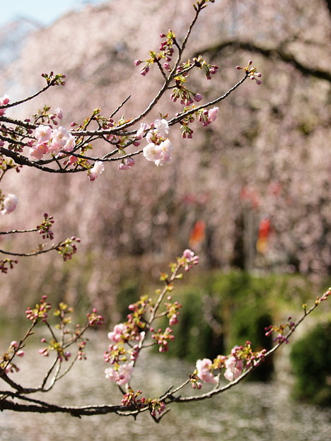 神池に垂れる桜